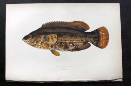 Couch 1877 Antique Fish Print. Baillon's Wrass 132